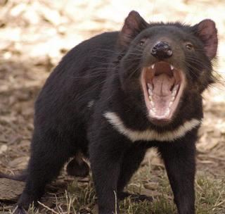 tasmaniadevil.jpg